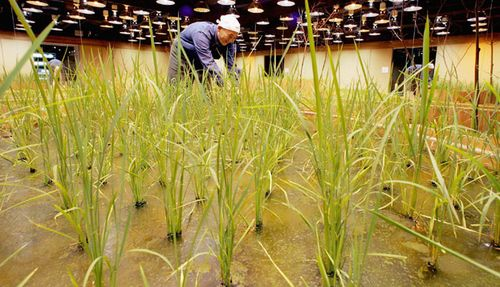 Urban-garden-rice-in-bank-basement