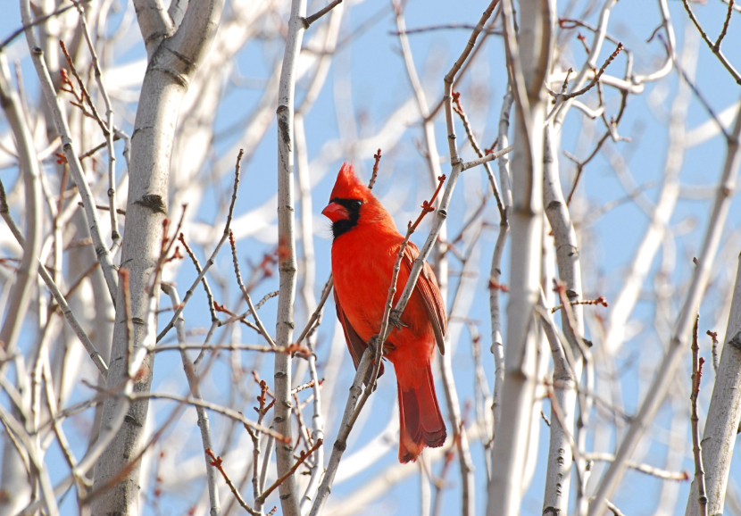 Red Northern Cardinal on a Leafless Birch