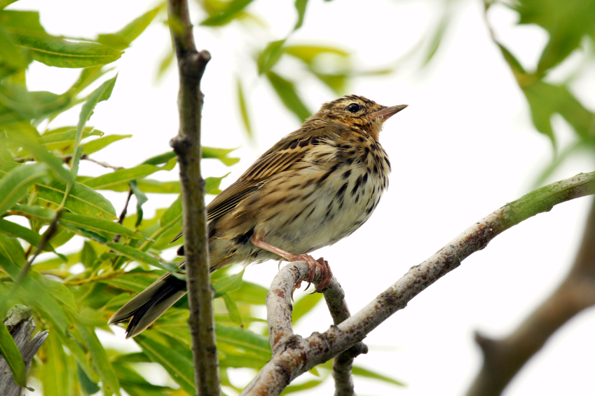 India Tree Pipit in Kamchatka, Russia